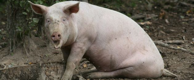 Ступор свиньи