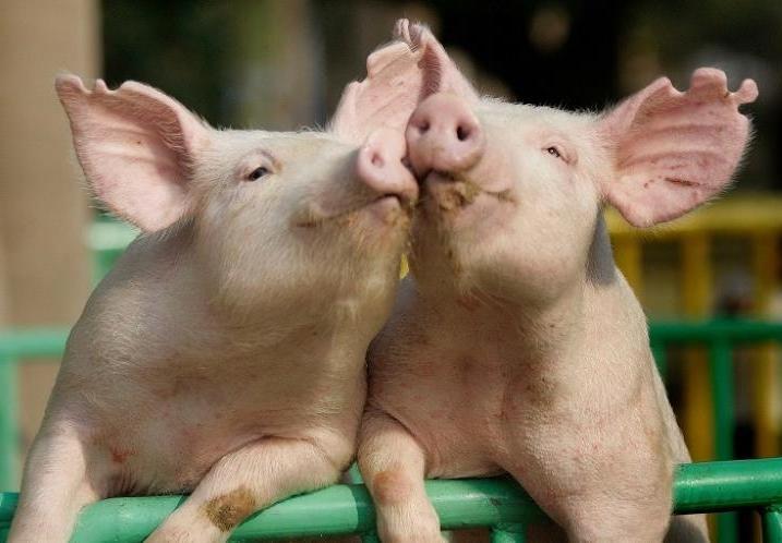 Две молодых свиньи