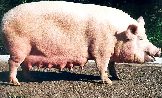 Вымя свиньи