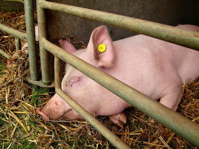 Свинья в чистом свинарнике после дезинфекции