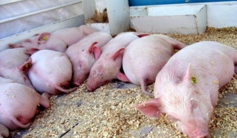 Свиньи на подстилке из опилок