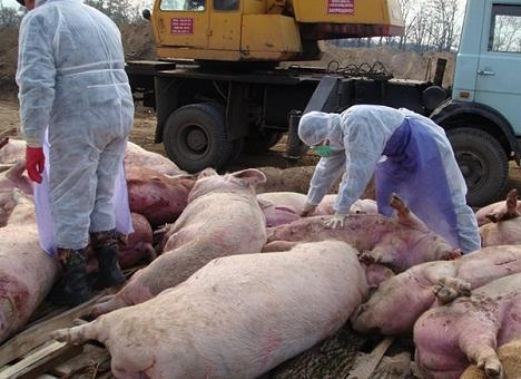 Карантин на ферме после болезни ауески у свиней