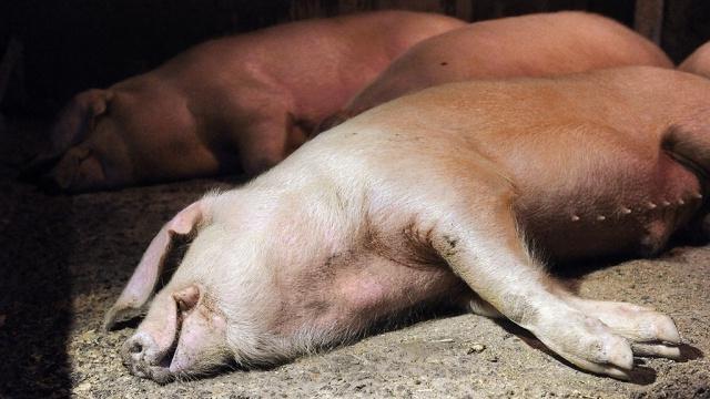 Ауески у свиней симптомы лечение