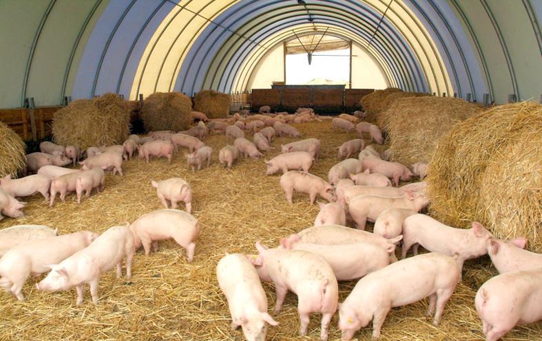Свиньи в ангаре