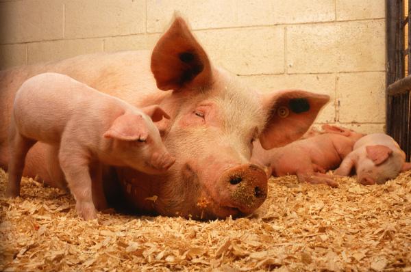 Свинья на опилках