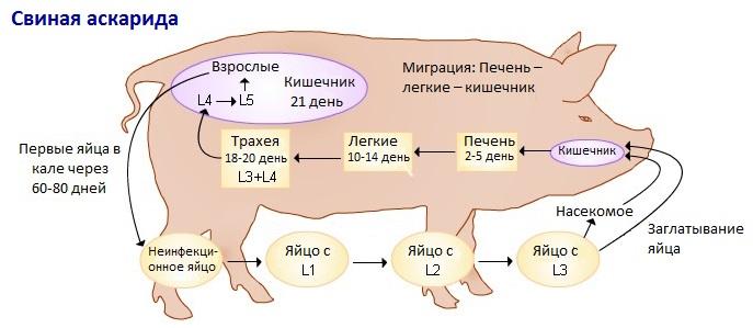 Аскаридоз у свиньи схема