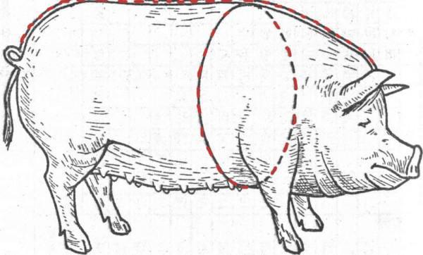 Схема обмера свиньи