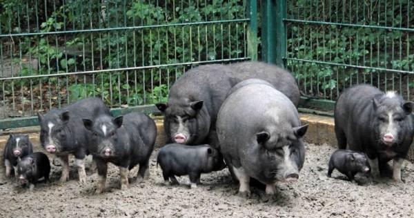 Вьетнамские вислобрюхие свиньи и поросята