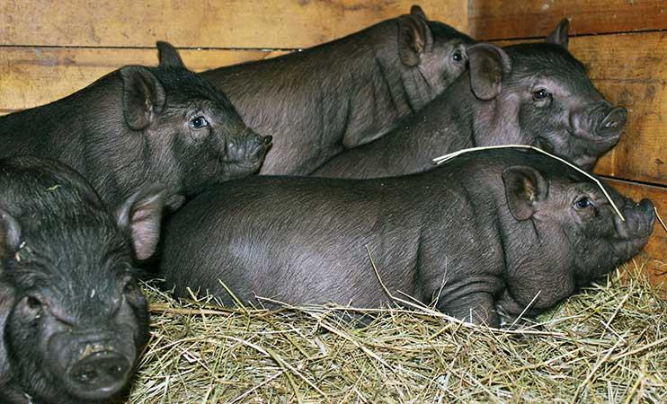 Вьетнамские свиньи на подстилке