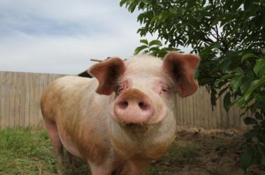 Свинья не приходит в охоту — что делать для смены настроя