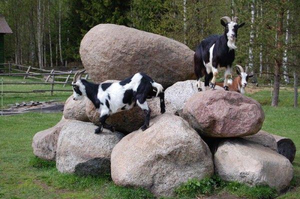 Козочки на камнях
