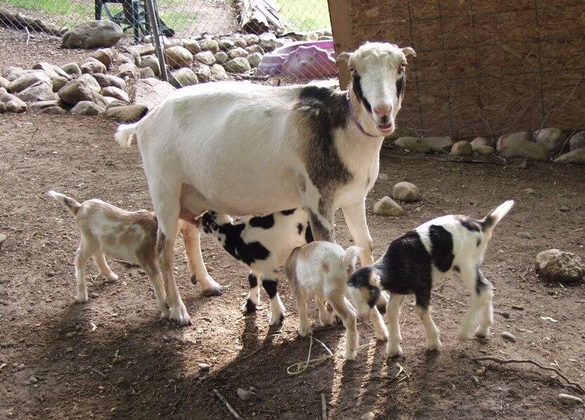 Козочка и козлята
