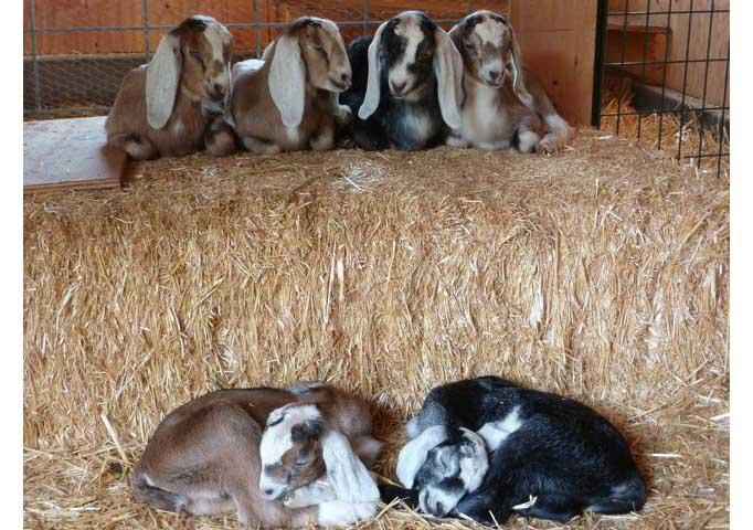 Нубийские козлята спят