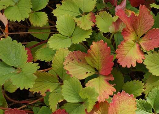 Старые листья клубники