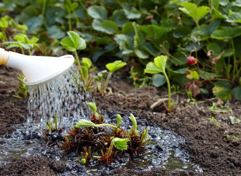 Земляника и клубника : уход после плодоношения и сбора урожая