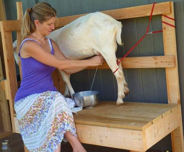Специальный станок для доения коз