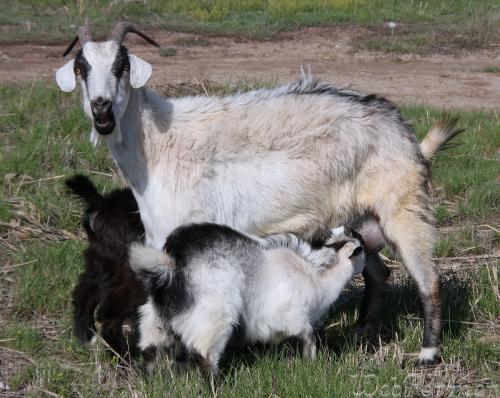 Молодые козлята на подсосе