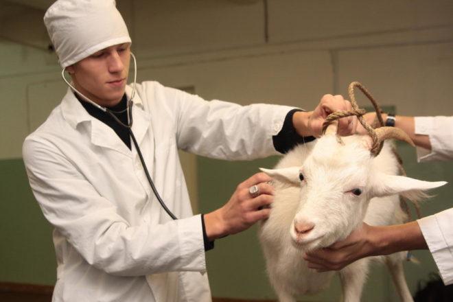 Ветеринар и коза