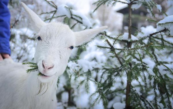 Коза кушает зимой