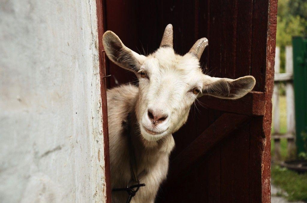 Как можно назвать козу: критерии выбора клички, как назвать козлёнка мальчика и девочку, список лучших имён по алфавиту