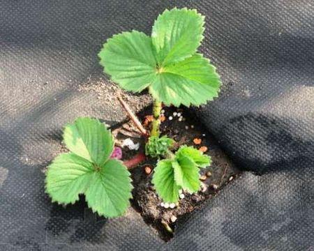 Посадка клубники на агроволокно - Посадка растений