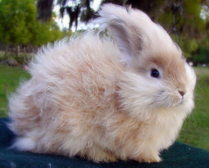 Картинки ангорскими кроликами