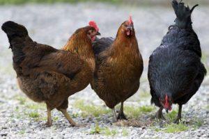 как ощипать курицу-2