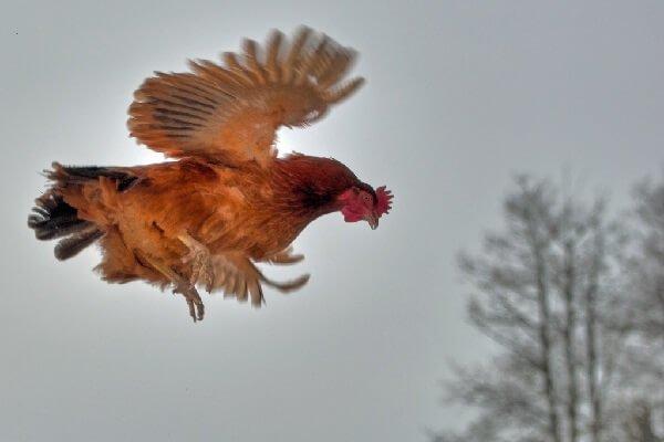 Как подрезать крылья курам чтобы не летали, как обрезать клюв курице в домашних условиях?