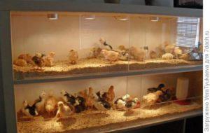 брудер для цыплят-2