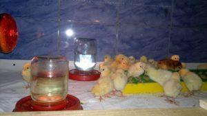 брудер для цыплят-4