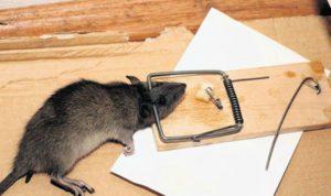 крысы в курятнике-3