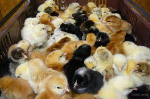 инкубация яиц для продажи-2
