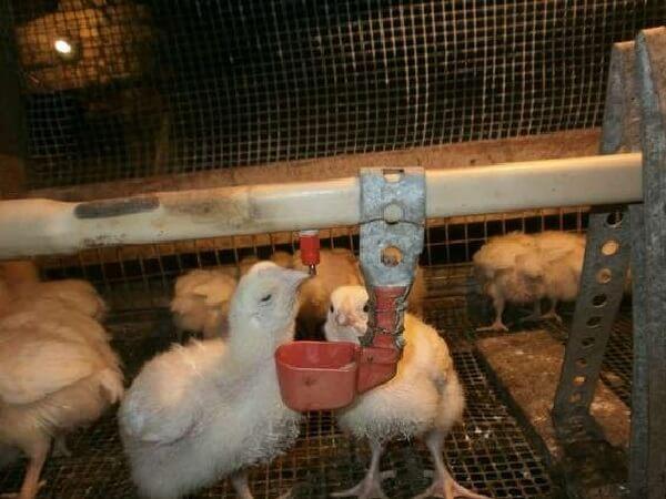 Антибиотики для цыплят в первые дни жизни — названия и правила применения для лечения и профилактики болезней