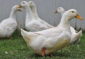 домашние птицы-3