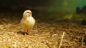 как вырастить цыплят-2
