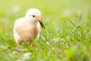 какую траву давать цыплятам-2