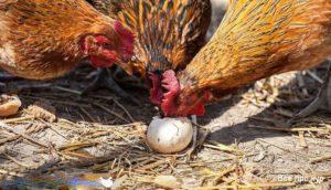 расклев яиц-2