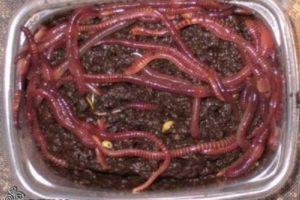 кормление червями-2